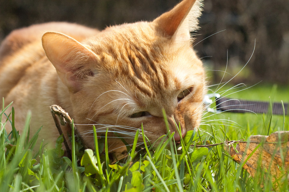 Helios munches on grass