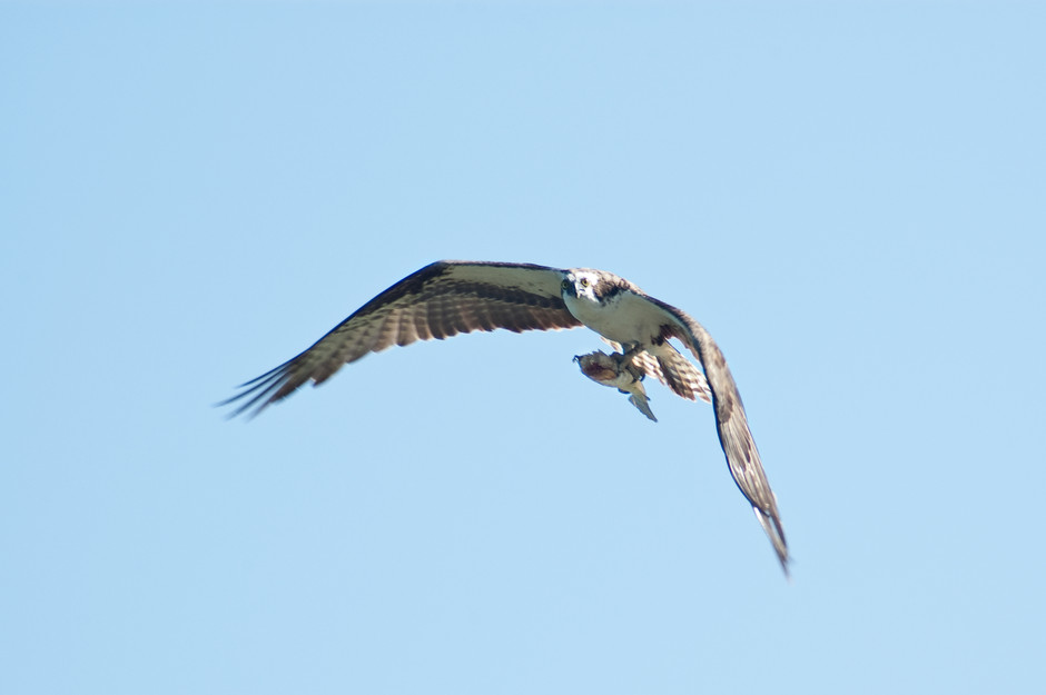 Florida osprey in flight