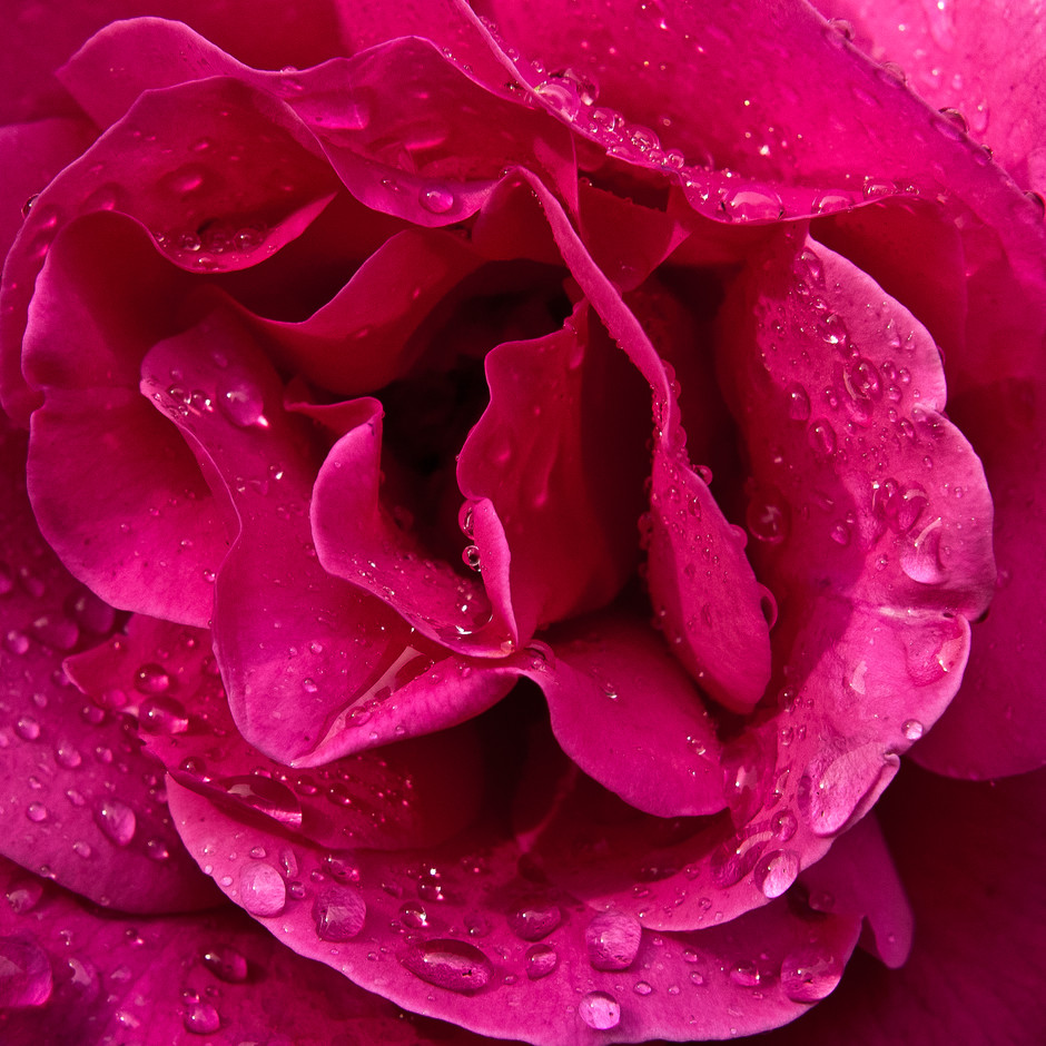 Close-up of a Garden Rose
