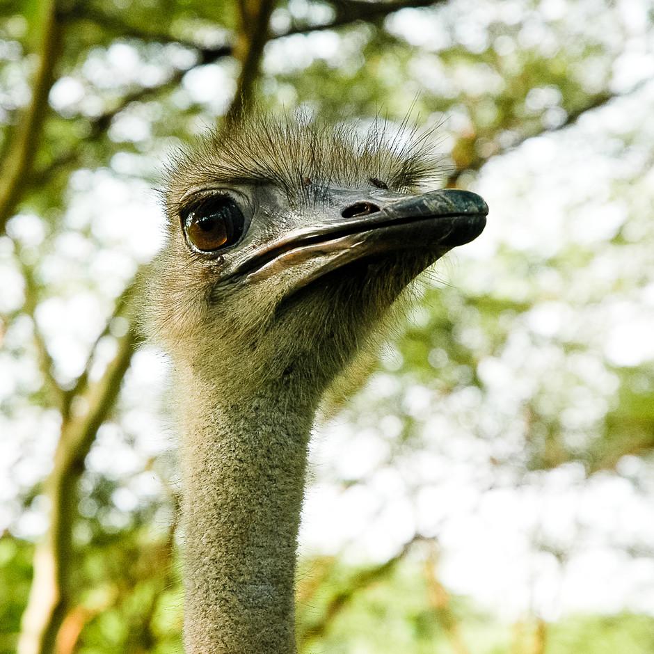 A militant ostrich