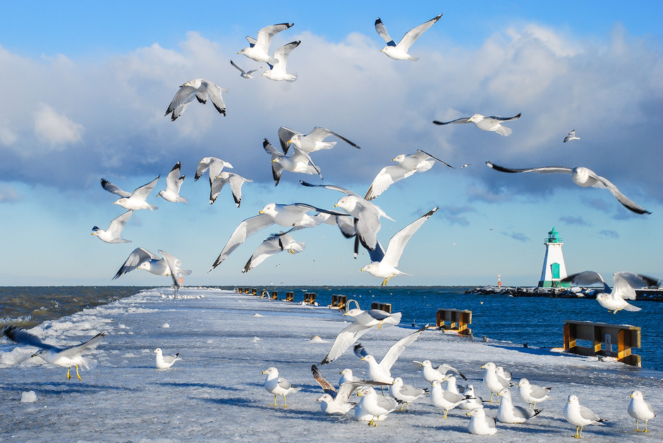 Seagulls by Lake Ontario