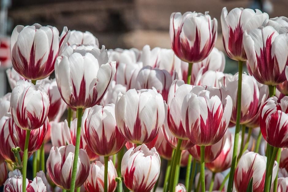 The Canada 150 tulip