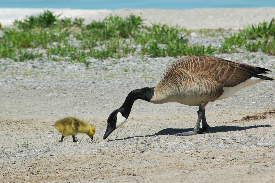 One Canada Goose and one Canada Gosling