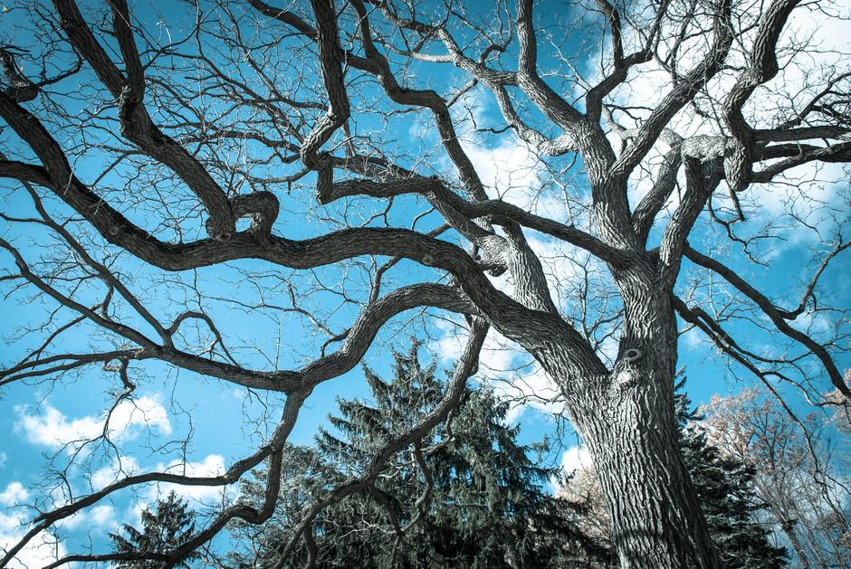 Old Man Elm