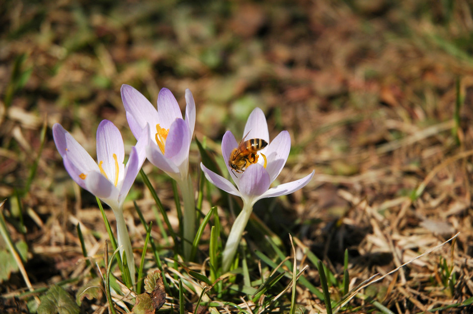 First spring flowers (and spring bee)